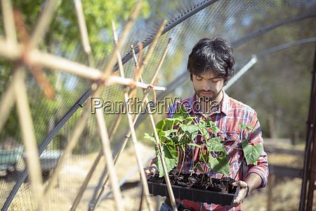 portrait of gardener planting runner bean
