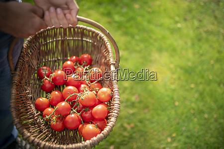 gardener with basket of ripe crimson