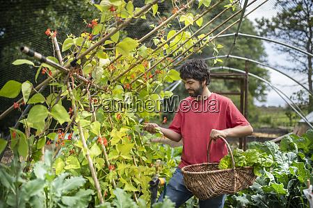 gardener picking runner beans in organic