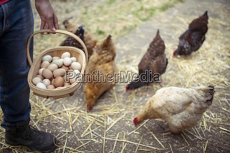 man picking hens eggs in organic