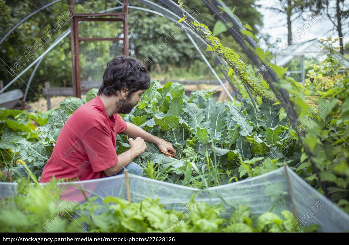gardener, picking, broccoli, in, organic, vegetable - 27628126