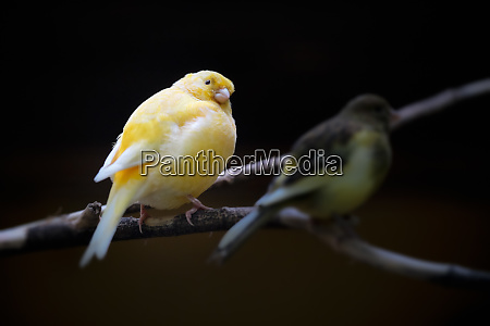 image of a canary bird