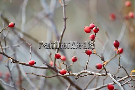 rosehips herb closeup