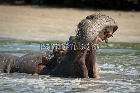 hippo opens mouth wide in foamy