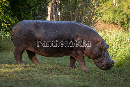 hippo with wounded shoulder walks across