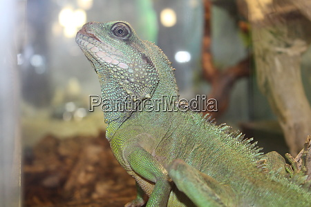 a large green cold blooded lizard