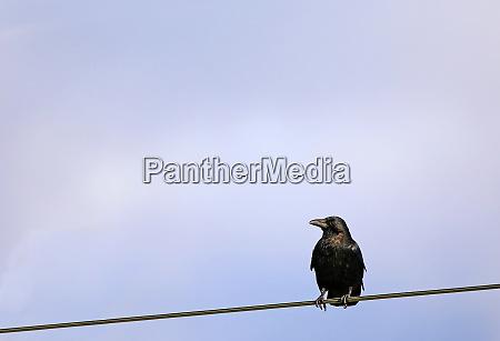 raven crow corvus corone corone