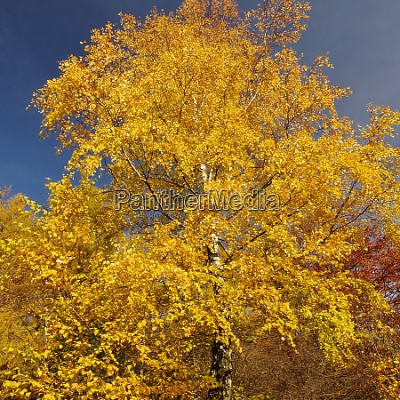 birch in autumn nature reservat senne