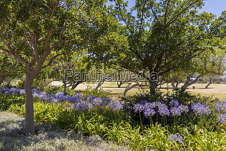 purple flowers in green point park