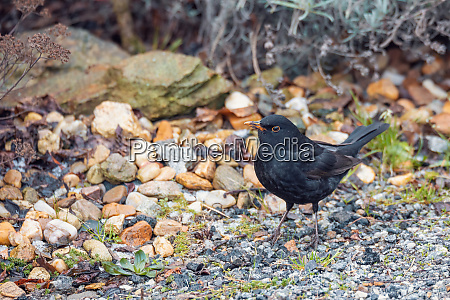 male of common black bird in