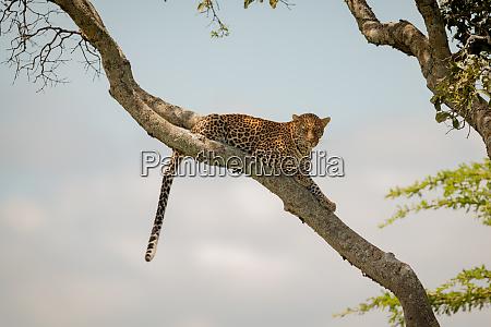 leopard lies dangling tail from diagonal