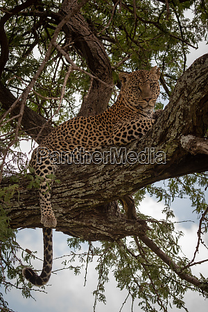 leopard lies in tree with leg