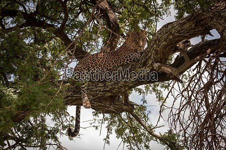 leopard lies in tree with tail
