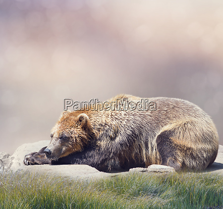 brown bear resting close up shot