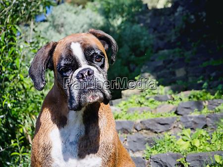 dog portrait of the pedigree dog