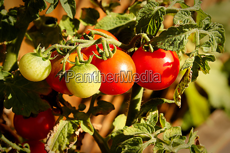 side view of ripening tomatoes on