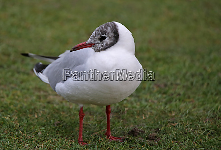 laughing gull chroicocephalus ridibundus on the
