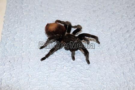 spider tarantula species