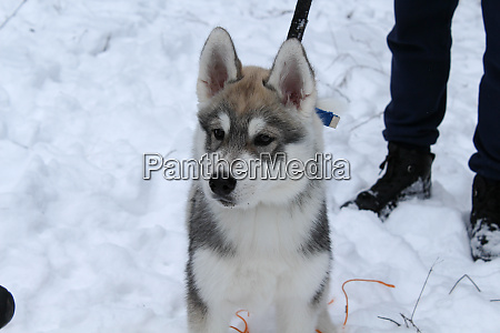 siberian husky went out for a