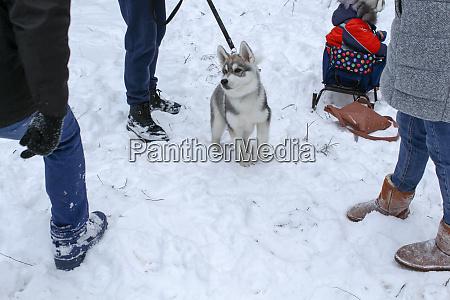 siberian husky in winter on snow