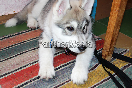 husky resting at home
