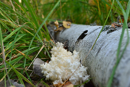 coral forest mushroom near the birch