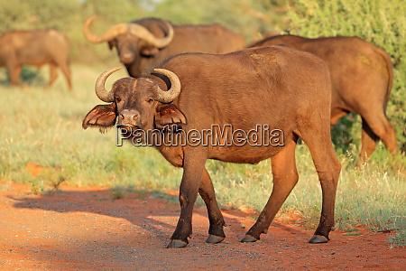 african buffalo in natural habitat