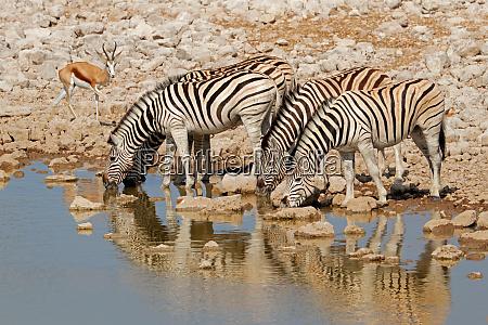 plains zebras drinking water etosha