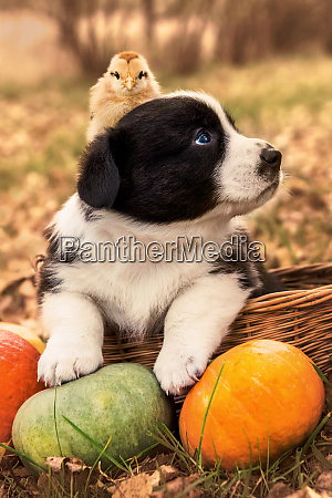 welsh corgi pembroke puppy dog chicken