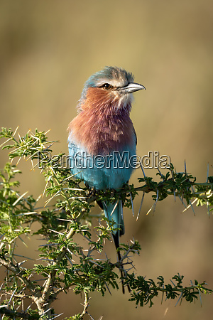 lilac breasted roller perches on sunlit