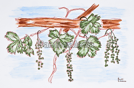 watercolor of vines with grapes france