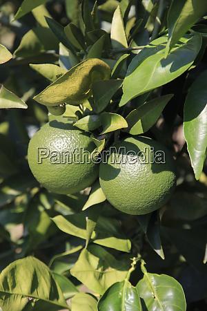 turkey anatolia antalya aspendos anatolian oranges