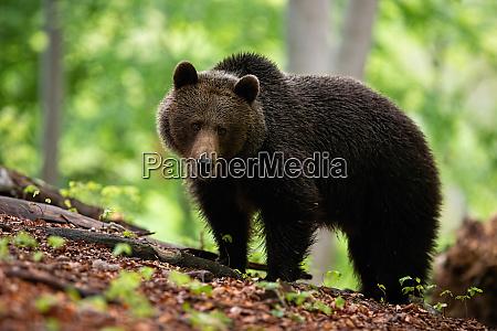 a shaggy female of brown bear