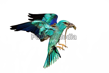 european roller bird flying and hunting