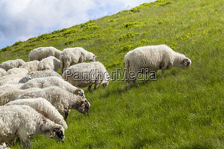 sheep graze on a high mountain