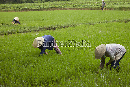 workers in rice field cam kim