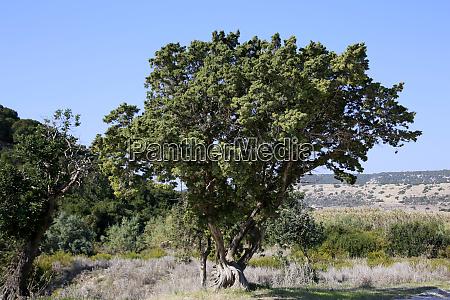 cyprus cedar cedrus libani var brevifolia