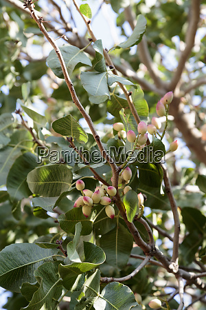 azerbaijan baku an interesting budding tree
