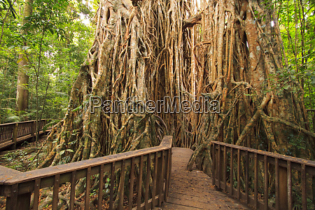 the giant fig tree on the