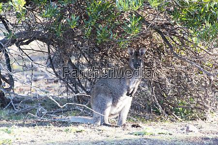 australia tasmania maria island national park