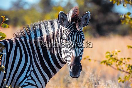 zebra in african bush okavango botsvana