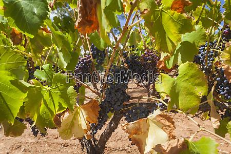 australia barossa valley cockatoo valley vineyard