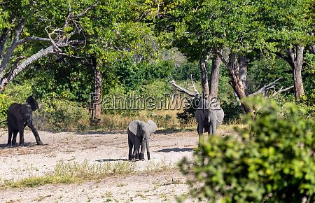 african elephant namibia africa safari wildlife