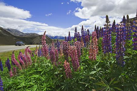 new zealand wild lupine flowers grow