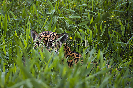 jaguar panthera onca hiding behind tall