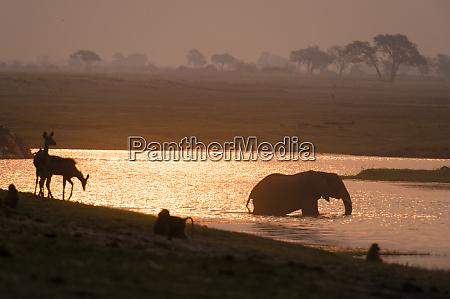 african elephant loxodonta africana and animals