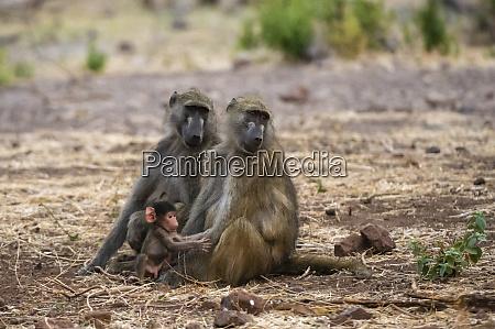 chacma baboons papio ursinus and infant