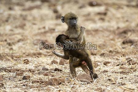 chacma baboon papio ursinus and infant