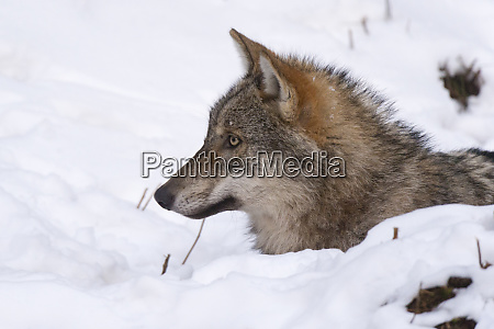 gray wolf canis lupus captive bavarian