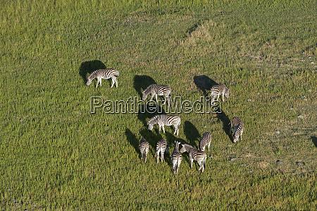 aerial view of burchells zebras equus